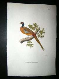 Shaw C1800's Antique Hand Col Bird Print. Common Pheasant